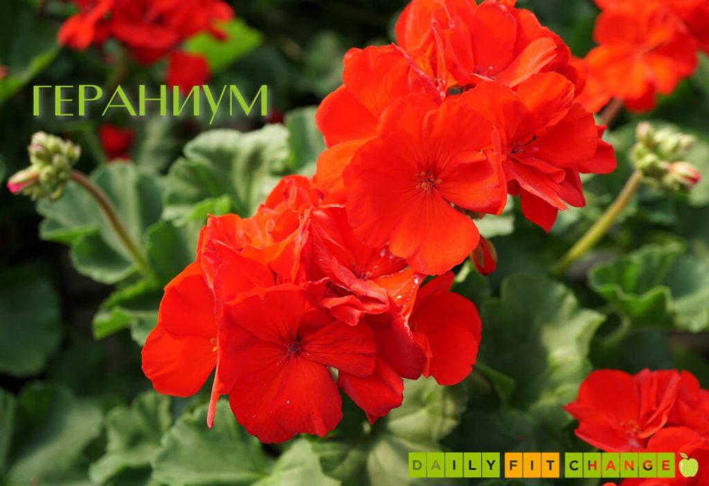 Гераниум съставка в сапун Daily Love